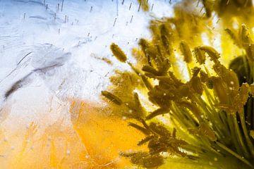 Close-up vom Isländischen Mohn in Eis 1