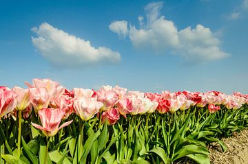Roze tulpen met blauwe wolkenlucht van Martin Stevens