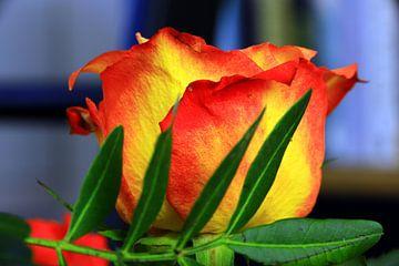 Roodgele roos van Jolanda Kars