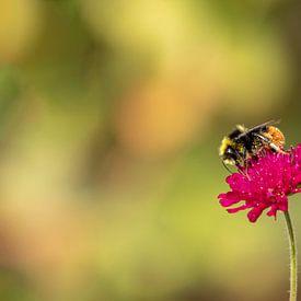 Hommel op rode beemdkroon (Knautia arvensis) van Tanja van Beuningen