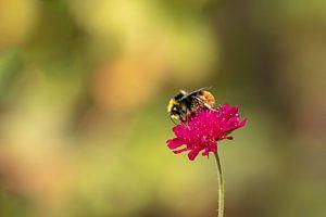 Hommel op rode beemdkroon (Knautia arvensis) van