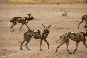 Afrikaanse Wilde Honden van Laura Koppen