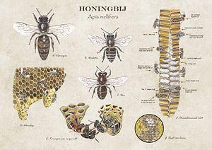 Het leven van de honingbij