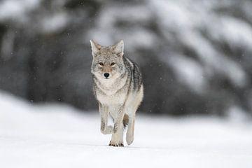 Coyote ( Canis latrans ), in winter, walking on frozen snow, light snowfall, watching, natural backg van wunderbare Erde