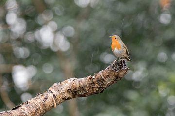 Roodborstje in de regen van Karin van Rooijen Fotografie