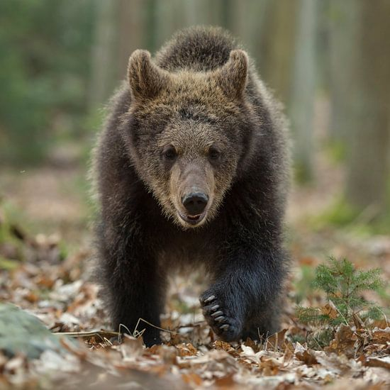 European Brown Bear ( Ursus arctos ), young cub walking, frontal shot