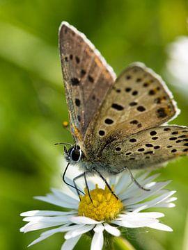 gesprenkelter Schmetterling von Jo Beerens