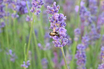 Käfer auf Lavendel von Mariska Wondergem