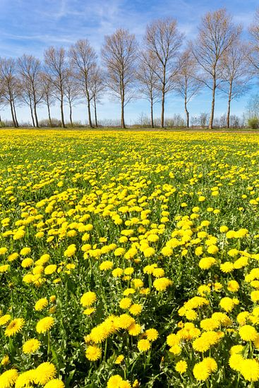 Veld met gele paardenbloemen in gras met rij bomen op achtergrond