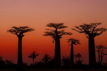 Allée des Baobabs van Dirk-Jan Steehouwer