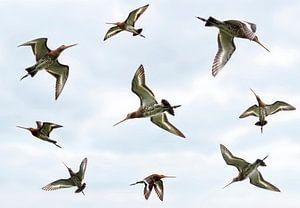Fliegenden Godwits