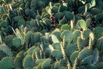 Cacti au soleil sur Claudia Evans