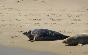 Twee zeehonden van
