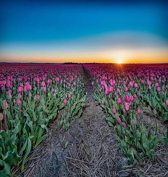 Kleurrijke Zonsondergang in het Tulpenveld van Alex Hiemstra