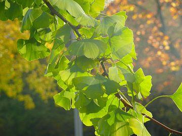 Ginkgo bladeren in zonlicht, herfst van RaSch_Design