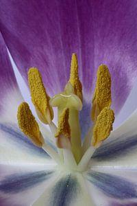 Hart van een tulp van