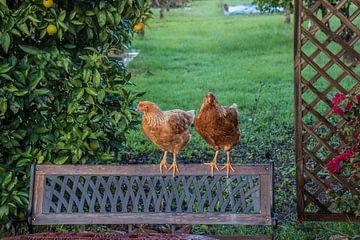 Twee kippen op een bank van Fred Leeflang