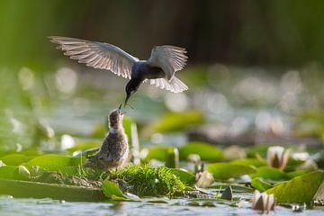 Zwarte stern (Chlidonias niger) voert al vliegend een kuiken op het nest, Zuid-Holland, Nederland van