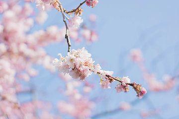 Kirschblüte von Marlous de Raad