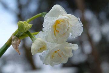 Narcissen bedekt in ijs/sneeuw van Myrte Wilms