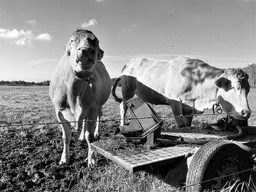 2 Kühe, die auf der Weide mit Wasser spritzen von Sandra van der Burg