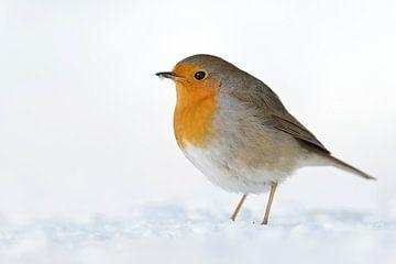 Rotkehlchen *Erithacus rubecula* im Schnee von wunderbare Erde