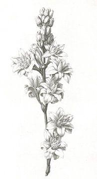 Blume von Jan Caspar Philips, 1736 - 1775