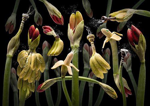 Amarylla tropicana van