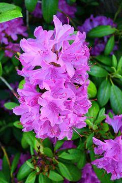 Rhododendron-Schönheit van