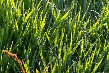 Gras en waterdruppels met zon. van Jaap Mulder