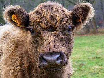 Schottische Highlander-Kuh aus Zedelgem von Delphine Kesteloot