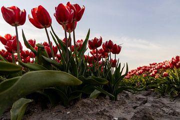 De rood witte tulpen in de Hollandse klei van Studio de Waay