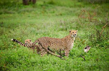 jonge cheeta die met moeder, Acinonyx jubatus, in Serengeti speelt. van Jürgen Ritterbach