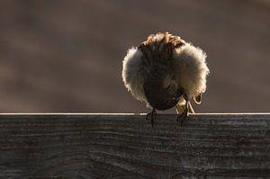 Huismus poetst zijn veren.