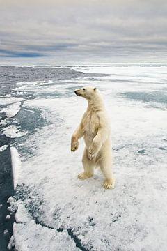 Nieuwsgierige ijsbeer komt op zijn achterste poten kijkje nemen bij de boot van Dirk-Jan Steehouwer