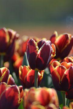 Tulp, twee kleurig