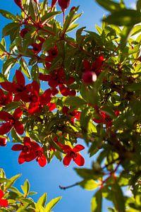 Fuchsia David