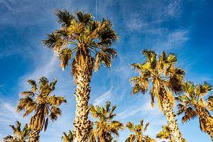 Hennep palm stam en kruin tegen blauwe hemel van Dieter Walther