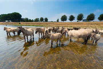 Konikpaarden in het water. van