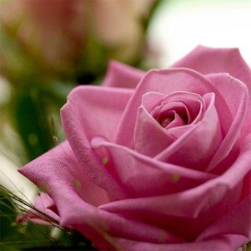 Rose rose von Vivian Fotografie