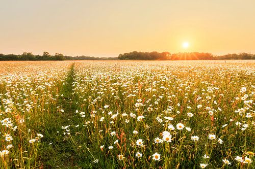 Zonovergoten margrietenveld van