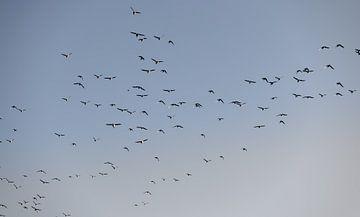 Vögel fliegen über Walcheren 2 von Percy's fotografie
