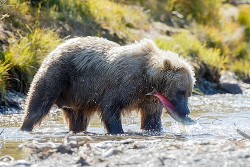 Een grizzly met gevangen zalm van