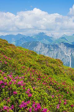 Alpenrosenblüte von Walter G. Allgöwer