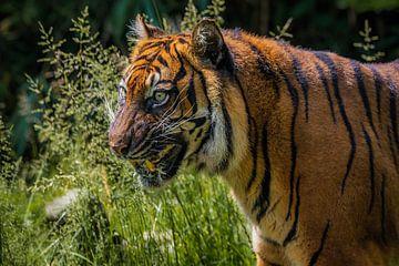 tiger von Joey Van Hengel