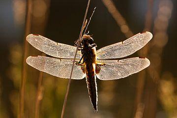 Libelle in der Dämmerung von DroomGans