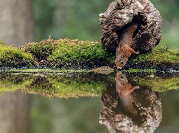 Eekhoorn met reflectie van Fronika Westenbroek
