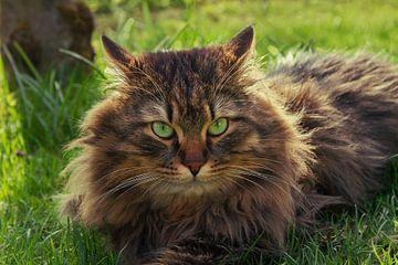 siberian cat in the garden van Susanne Bauernfeind