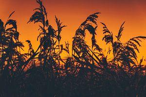 Sonnenuntergang zwischen dem Schilf