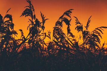 Sonnenuntergang zwischen dem Schilf von Maarten Borsje